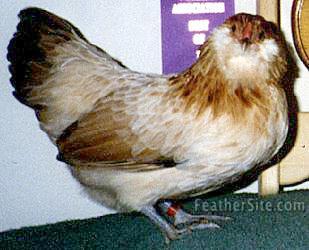 http://www.feathersite.com/Poultry/CGA/Arau/AmerWheatBtyP.JPEG