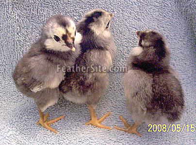 Araucana For Sale   Chickens   Breed Information   Omlet