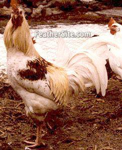 [image of Araucana cockerel]