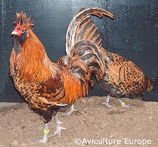 http://www.feathersite.com/Poultry/CGA/Brab/BrabanterGoldPr.JPEG