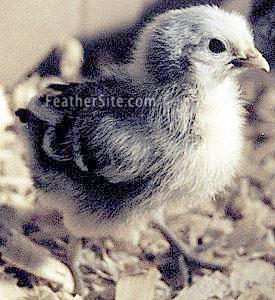 http://www.feathersite.com/Poultry/CGD/Hamb/SSHChikP1.JPEG