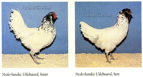 http://www.feathersite.com/Poultry/CGK/Owl/OwlbeardPr.JPEG