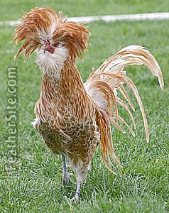 Twelve Utterly Bizarre Chicken Breeds Silkie 4