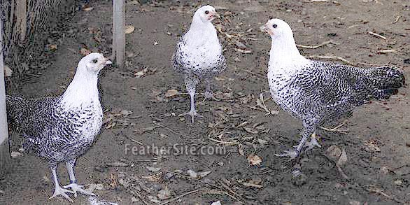 http://www.feathersite.com/Poultry/CGP/Westphal/WestphalPs.JPEG
