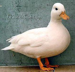 Call Duck Breeding http://reineckefuchs.girlshopes.com/callduck/