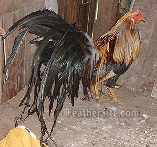 Hackle chickens for sale - High Quality Variant Cape Hackle