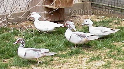 Silver Wood Ducks For Sale http://www.feathersite.com/Poultry/NDG/Ducks/Wood/BRKWoodies.html
