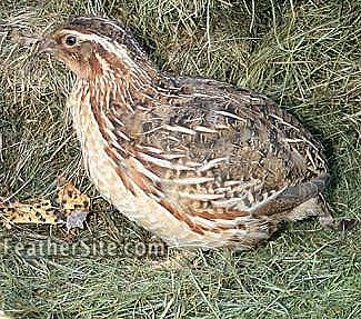Jumbo coturnix quail - photo#21