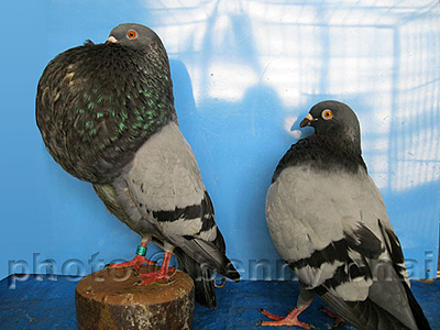 Pin Reversewing Pouter Pigeon on Pinterest
