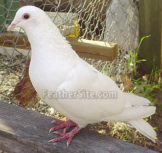 پرشین پت > > نژادهای اهلی کبوتر