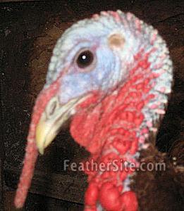 White midget turkey taste