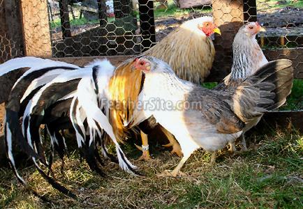 China Game Fowl