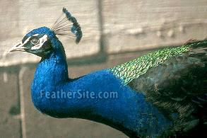 The Difference Between Blue India Left And Black Shouldered Peacocks Green On Back Occurs In Both Forms But You Cant See It This
