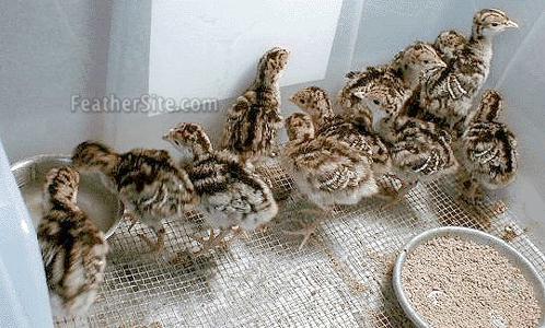 Bronze Turkey Chicks